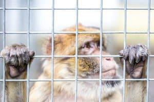 Abgastests an Affen und Menschen: Neuer moralischer Tiefpunkt rund um den Diesel-Skandal.