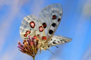 Artenschutz von Insekten: In Österreich steht u. a. der Apollofalter unter Schutz.