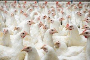 Artgerechte Haltung für Hühner ermöglicht ein Leben der Nutztiere außerhalb von engen, dunklen Hallen.