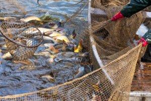 Wer Fisch essen möchte, sollte bedrohte Fischarten meiden