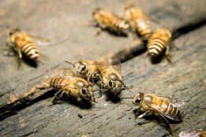 Biene und Wespe stehen unter Naturschutz