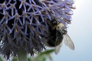Bienen sind vom Aussterben bedroht - Hummeln auch