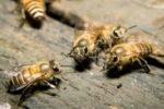 Neben Käfern stehen auch andere Insekten unter Naturschutz.