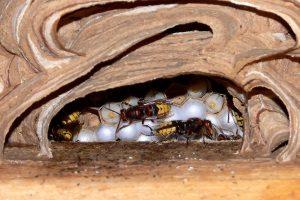 Bienen stehen im Naturschutz und Artenschutz laut Bundesartenschutzverordnung - ebenso wie Hornissen