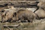 Zu Haarwild zählt das Wildschwein, welches auch unter der Bezeichnung Schwarzwild geläufig ist.
