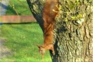 Wird ein Eichhörnchen angefahren, handelt es sich bei dieser Kollision nicht um einen Wildunfall.