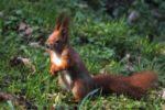 Eichhörnchen benötigen Schutz