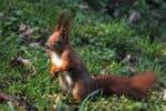 Immer wieder werden bei der Nahrungssuche Eichhörnchen überfahren.