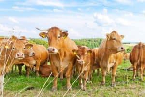 Die Freilandhaltung für Schweine gibt es auch für Rinder
