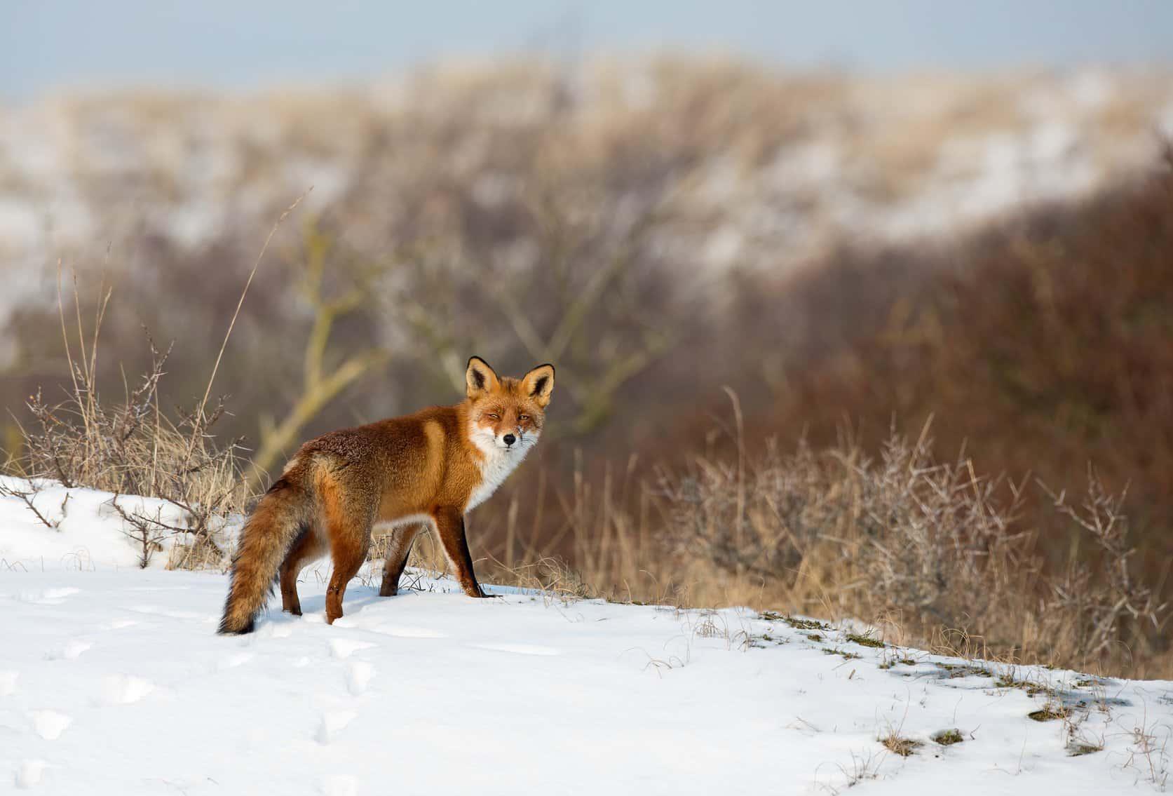 Fuchs Unter Artenschutz Tierschutz Bußgeldkatalog 2019