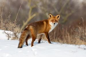 Werden die schlauen Jäger auf der Futtersuche unachtsam, kann es passieren, dass ein Fuchs überfahren wird.