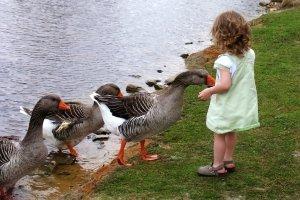 Auch Kinder mögen es, Gänse zu füttern.