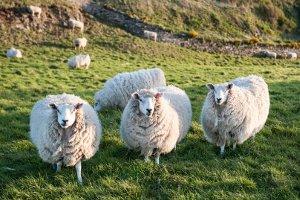 Gentechnik-Beispiele gibt es viele. 1995 brachte es Schaf Dolly zu Berühmtheit. Es war das erste geklonte Säugetier.