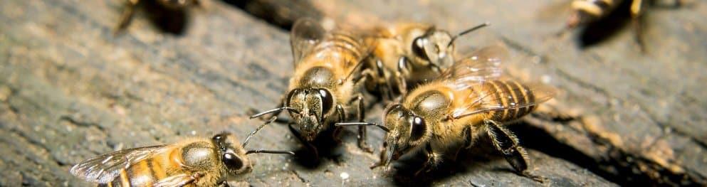 Bienen und Wildbienen unter Naturschutz
