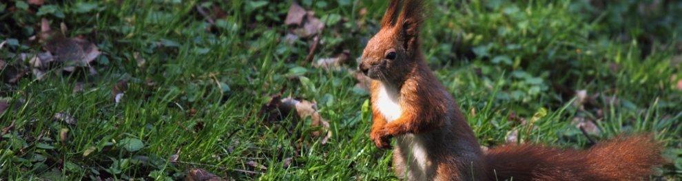 Eichhörnchen: Schutz und Hilfe für die kleinen Nager