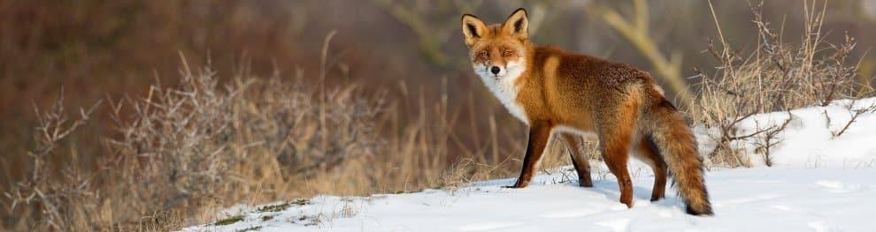 Fuchs und Maßnahmen zur Abwehr dieser Tiere