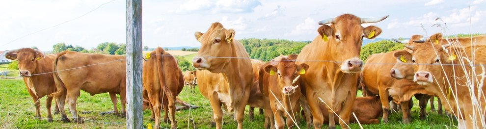 Lebensbedingungen für ein Rind in Massentierhaltung