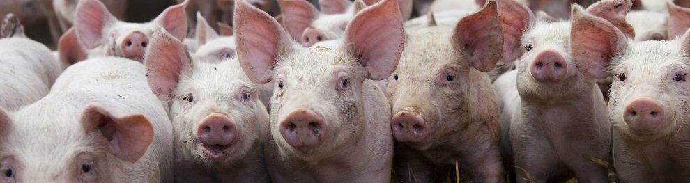 Freiland- oder Massentierhaltung beim Schwein