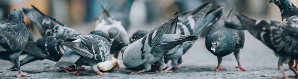 Tauben füttern: Erlaubt oder verboten?
