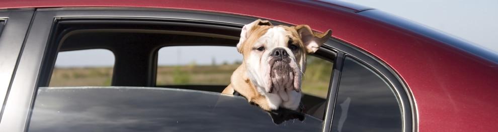 Tiere im Auto transportieren – was Sie wissen müssen