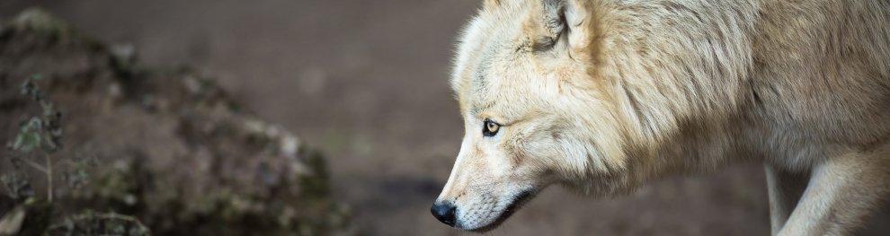 Der Wolf unter Naturschutz