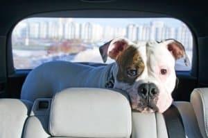 Hitze im Auto stellt für Hunde, Katzen & Co eine große Bedrohung dar.