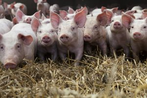 Hormone in der Nutztierhaltung: Vor allem bei Schweinen werden diese eingesetzt.