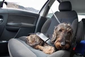 Hund im Auto lassen: Wie lange dies gut geht, hängt vor allem von den Witterungsbedingungen ab.
