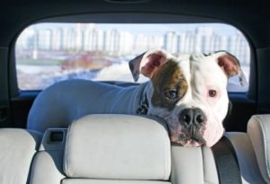 Ein Hund in der Mietwohnung kann schwierig werden, wenn es sich um einen sogenannten Listenhund handelt.