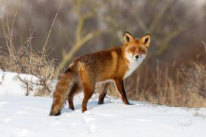 Die Jagd auf Wildschweine erhöht die Population. Das gleiche Prinzip gilt auch für Füchse.