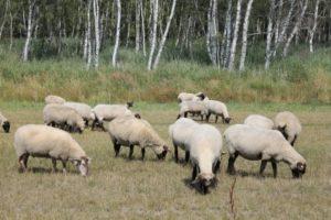 Die Jagd auf Wölfe ist verboten, auch wenn sie Nutztiere wie Schafe reißen