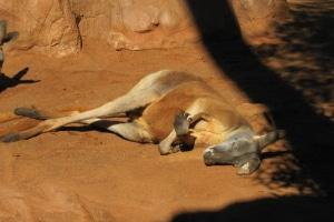 Wird versehentlich ein Känguru überfahren, ist der Schock meist groß.