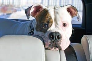 Als Kampfhunde gelten auch Mischlinge, die aus Kreuzungen mit diesen Rassen entstanden sind.