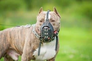 Für Kampfhunde gelten strikte gesetzliche Bestimmungen.
