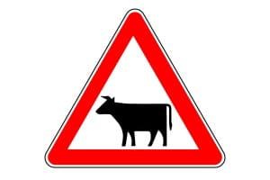 """Achtung Kuh! Um einen Unfall zu vermeiden, sollten Autofahrer beim Verkehrszeichen """"Viehtrieb"""" besonders wachsam sein."""