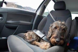 Ein Maulkorb für Hunde sind in einigen Bundesländern Pflicht.