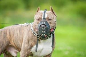 Die Maulkorbpflicht gilt unter anderem für American Staffordshire Terrier in Deutschland.