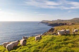 Rechtsverkehr: In Irland nicht vorhanden. Überholen müssen Sie jedoch rechts, auch die Schafe.