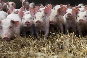 Nicht nur Rinder werden in Massentierhaltung gezüchtet
