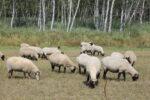 Schafe beim Grasen auf der Wiese