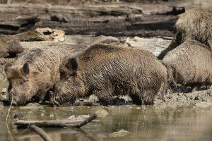 Die Schonzeiten für das Wild sollten vor einer Jagd vom Jäger überprüft werden.