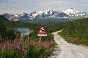 Wer Schweden mit dem Auto bereisen möchte, muss auch auf Elche und Rentiere auf der Fahrbahn achten.