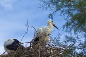 In Deutschland steht der Storch unter Naturschutz