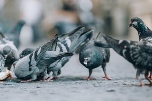 Die Nähe zum Menschen kann dazu führen, dass Tauben versehentlich überfahren werden.