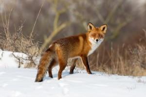 Obwohl die Wildtiere in Deutschland inzwischen als tollwutfrei gelten, besteht immer noch eine Tollwut-Meldepflicht.