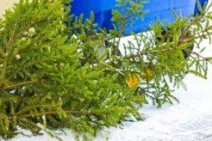 Zu Weihnachten in den Wald und Weihnachtsbäume zum Selberschlagen suchen? Ohne Anmeldung ist das verboten!