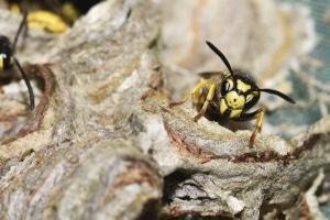 Wespen töten, statt sie zu vertreiben: Das kann in doppelter Hinsicht nach hinten losgehen.