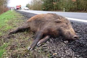 Es ist keine Seltenheit, dass im Verkehr ein Wildschwein bei einem Unfall ums Leben kommt.