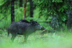 Es ist nicht nötig, Wildschweine zu füttern, da diese ausreichend Nahrung finden.