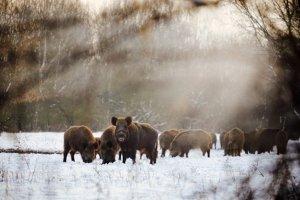 In Notzeiten dürfen Jäger oder Förster Wildtiere wie Wildschweine oder Rehe im Winter füttern.